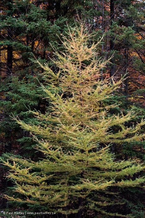 Tamarack Tree