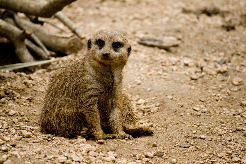 Meerkat at Houston, TX Zoo