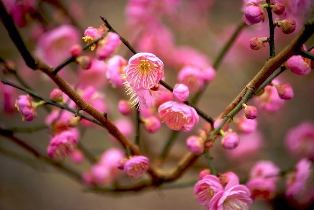 Japanese Apricot 02
