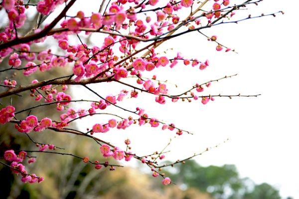 Japanese Apricot 03