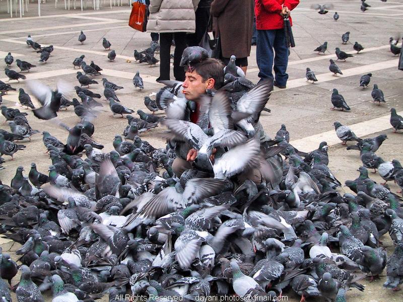 Pigeon,feeding