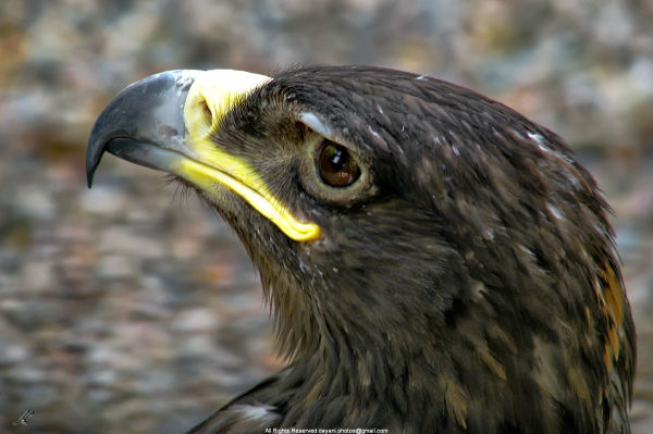 Golden eagle mohsen dayani محسن دیانی