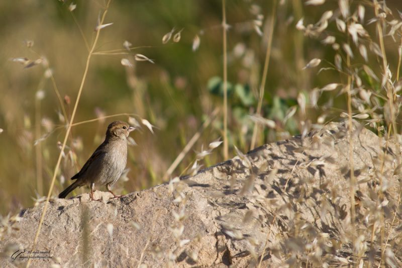 Sparrow photographed by Mohsen Dayani محسن دیانی