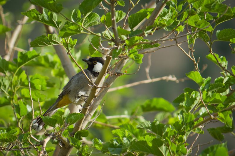 White eared bulbul photographed by Mohsen Dayani