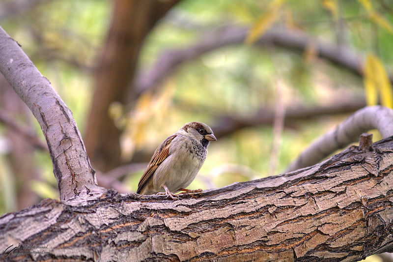 Sparrow, Bird, Mohsen, Dayani, محسن, دیانی