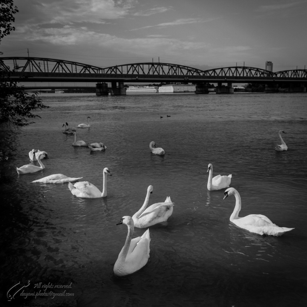 Swans on Danube.