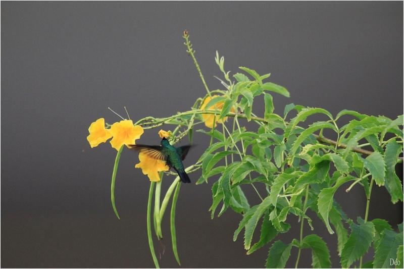Le colibri falle-vert