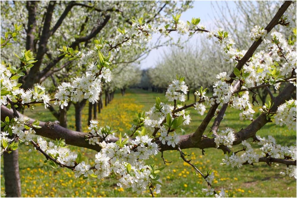 Mirabelliers en fleurs