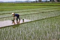 Repiquage du riz dans les rizières