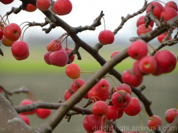 De rode appeltjes zitten aan de boom in onze tuin