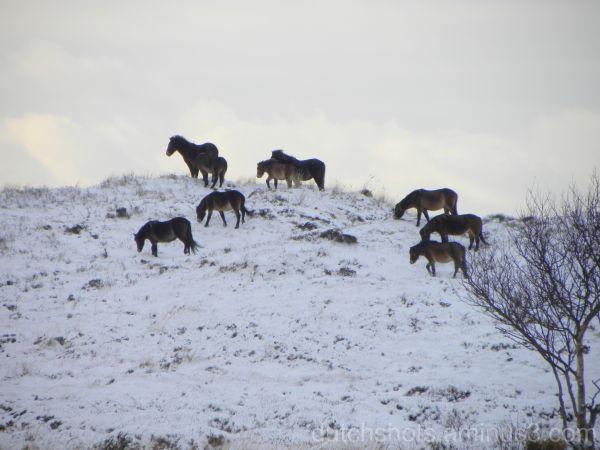Wilde paarden op Texel