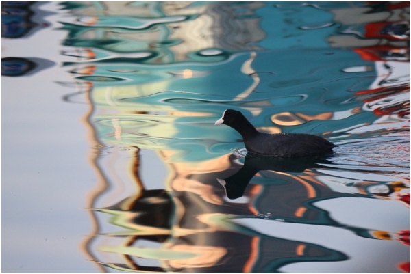 abstract reflection cormorant