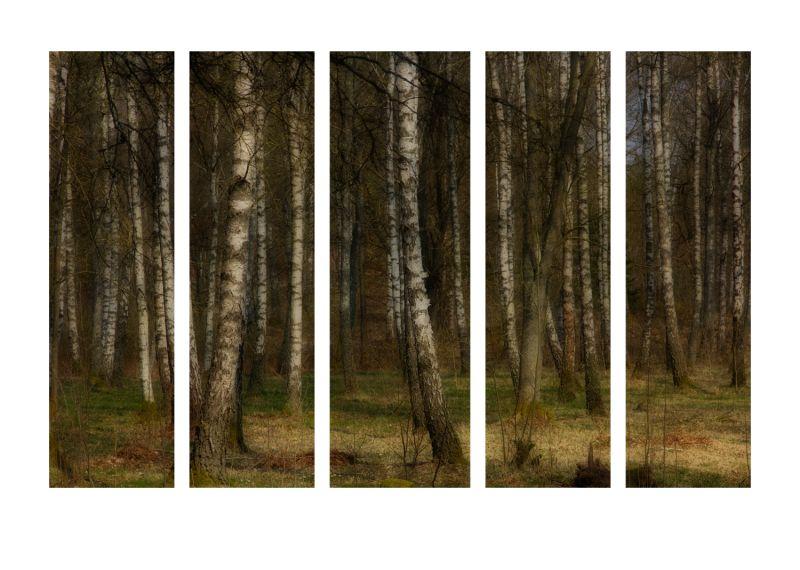 ...birch...