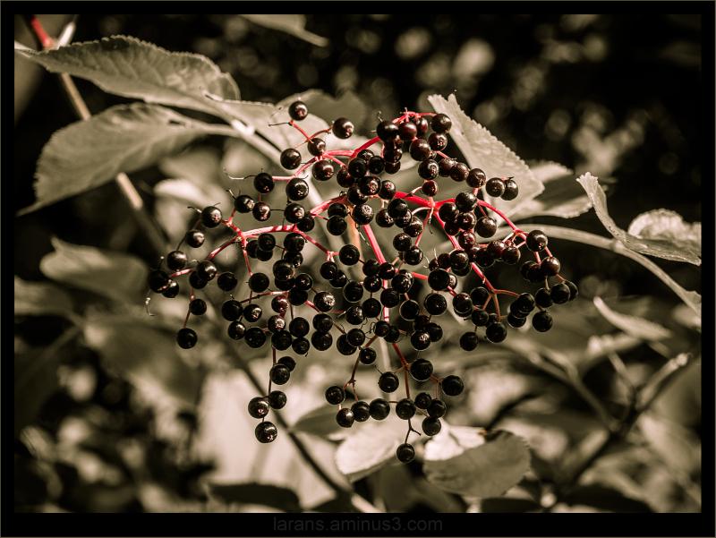 ...elderberries...