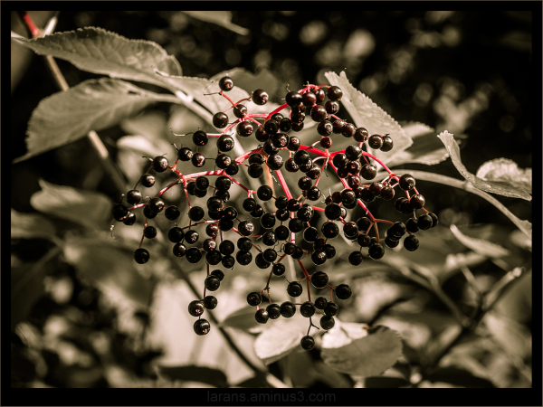 ...elderberries...