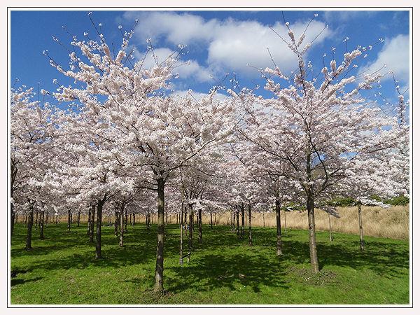 Blossom Blues