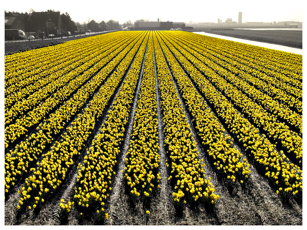 Field with Daffodils