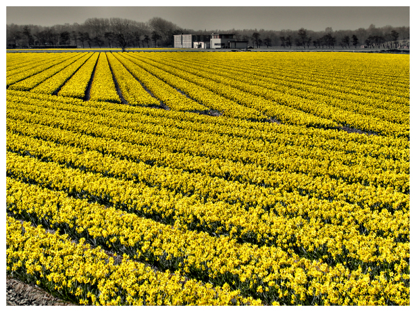 And The Last One: Field with Daffodils