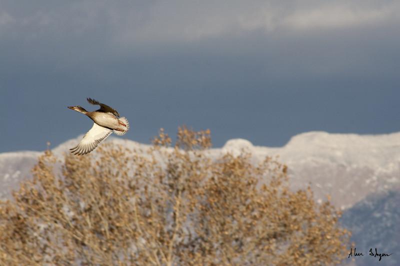 Female Mallard in flight