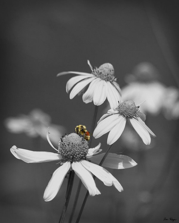A flower and a bee, again