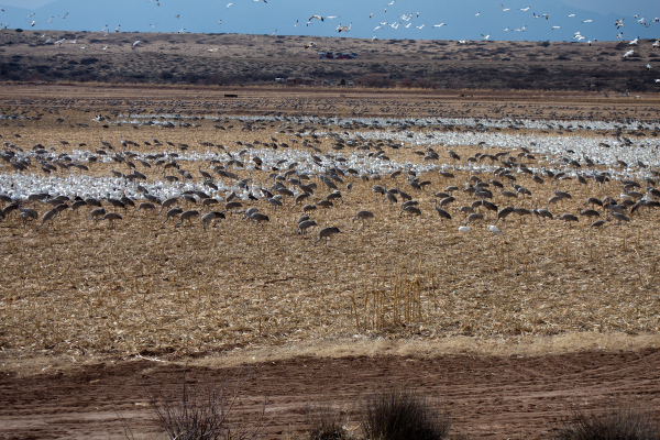 Geese & Cranes