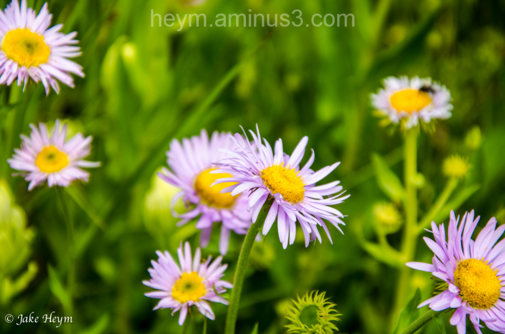 Tansy Aster Flower
