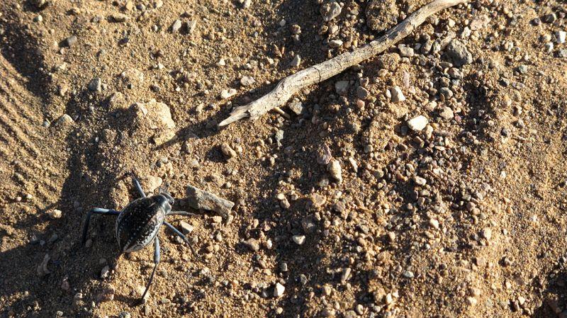 BLack Desert Bug