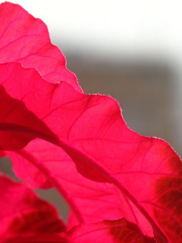 Alternanthera dentata 'Brazilian Red Hots'