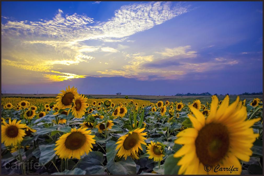 Iowa Sunflowers