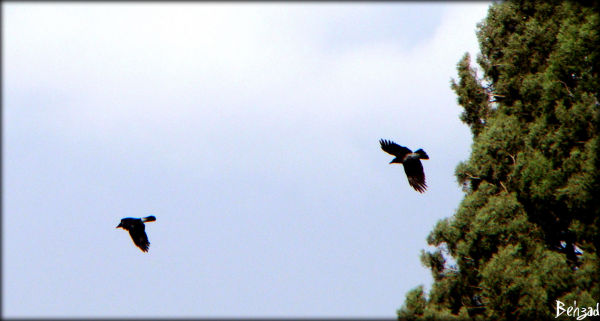 crow with friend  search for  freedoom in iran :(