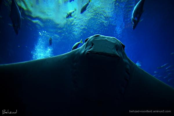 bat ray سفرهماهی