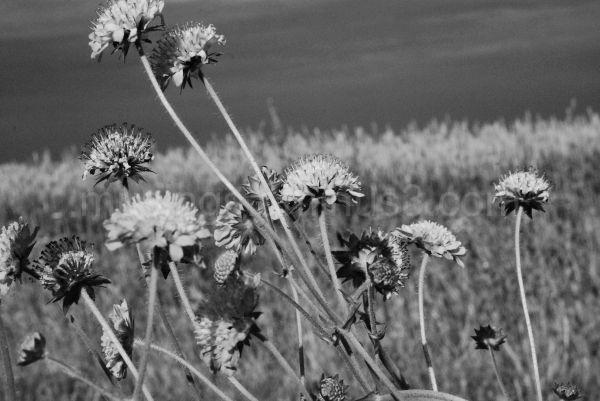 Black and white wildflowers