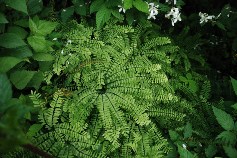 Ferns of Indiana.