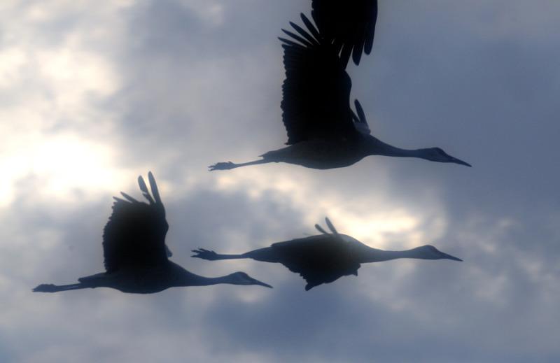 Sandhill cranes.