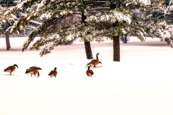 Geese in snow.