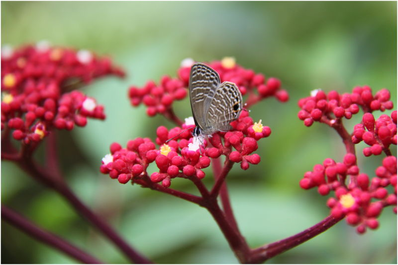 Berries & a Butterfly