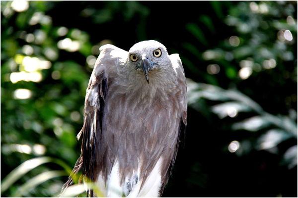 a Fish Eagle