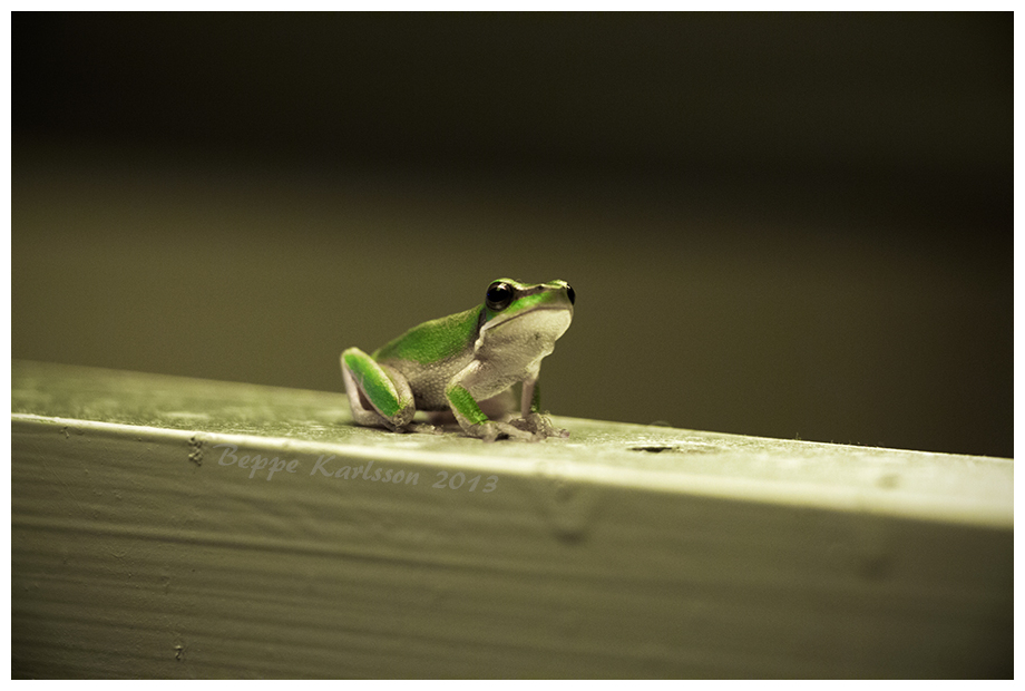 Australian frog