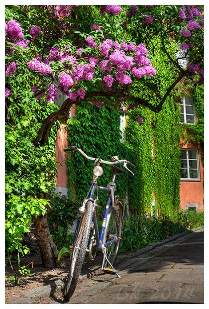 A bike standing below a siren tree in full bloom