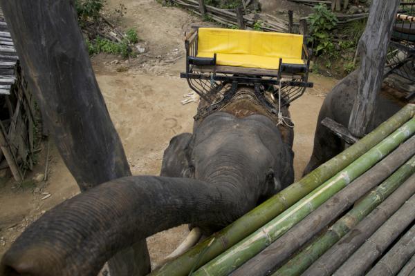 Elefant carinyós a Tailàndia