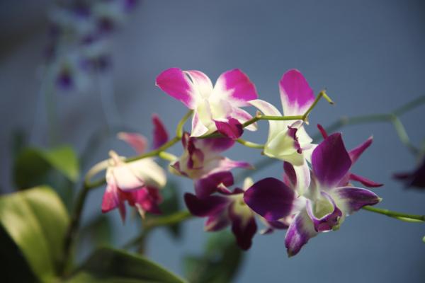 Orquídies, Tailàndia