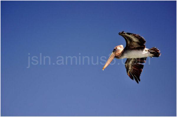 Pelican flying...