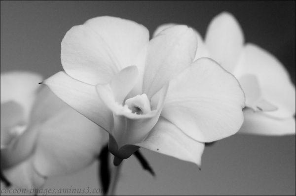 orchidee in zwart/wit