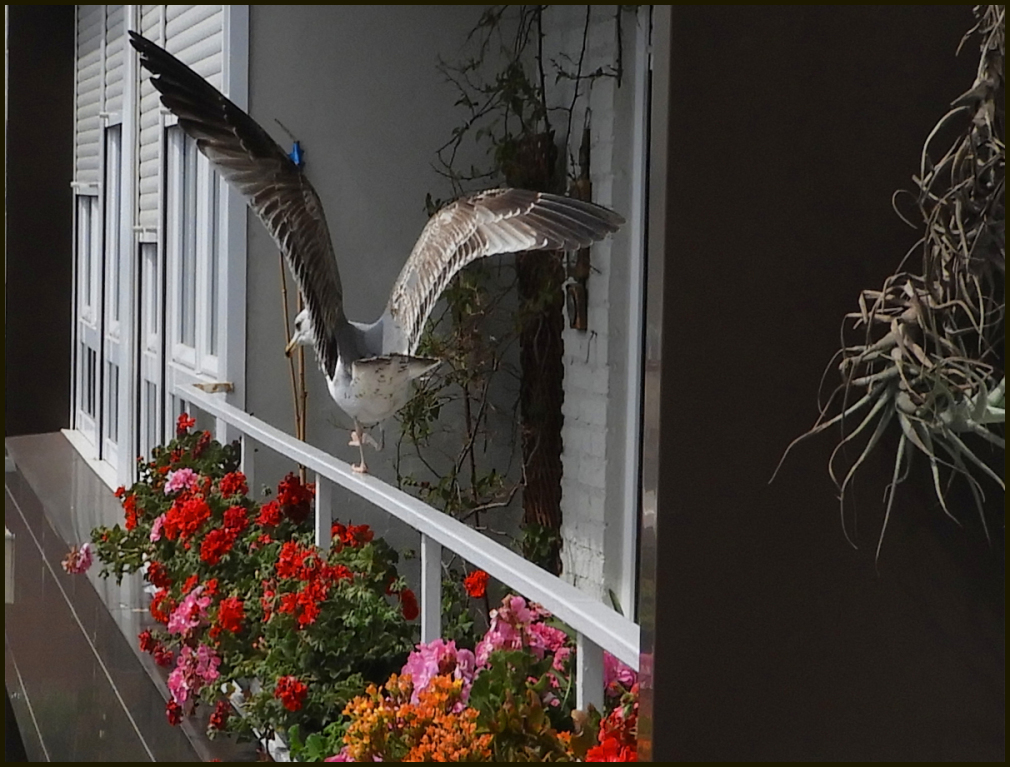 Periquito en el balcon
