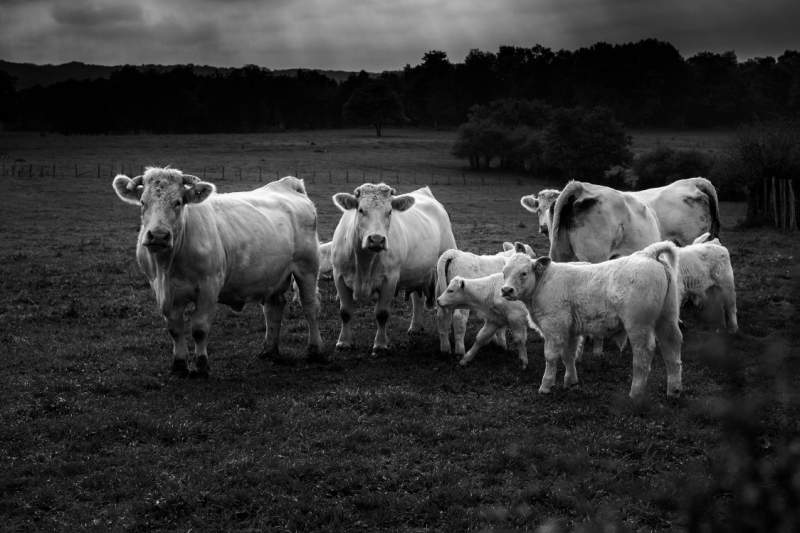 cows in the fields with veals