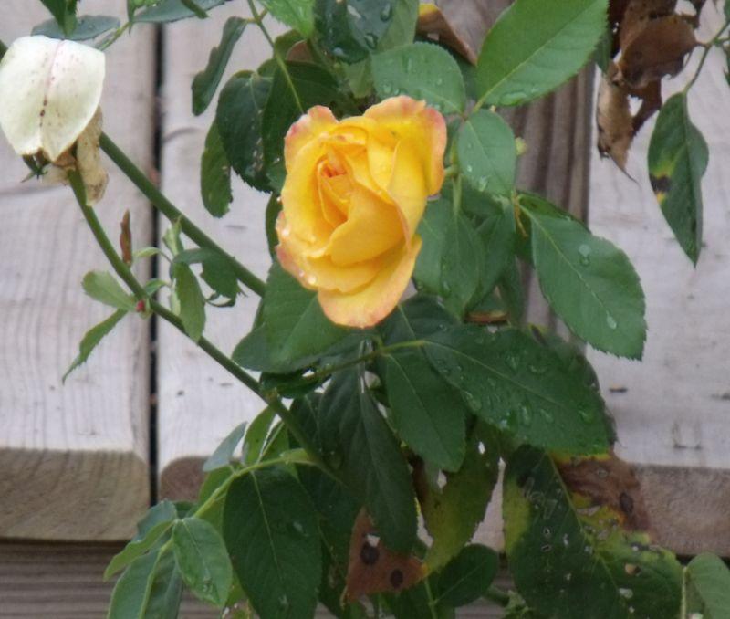 Yellow rose after rain