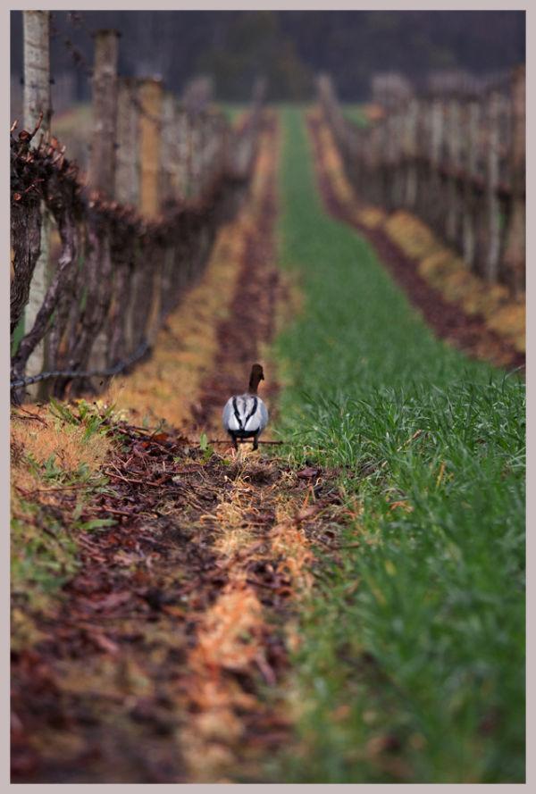 Vineyard Duck