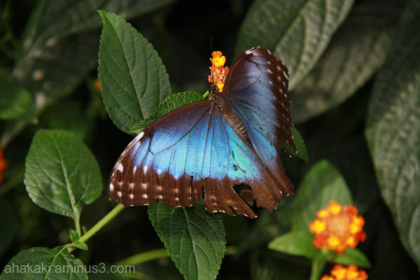 Butterfly, beauty, insect, animal, nature