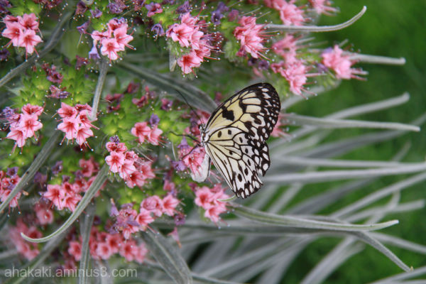 Butterfly, beauty, insect, animal, flower