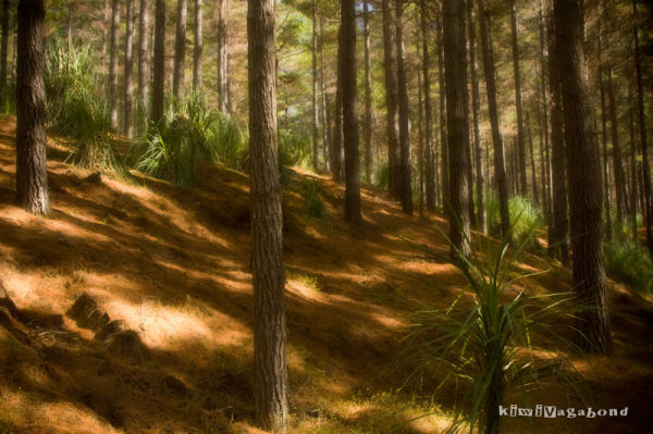 Aupouri Forest, Far North NZ by BlindPoet